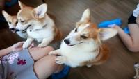 كلاب يستقبلون الزوار في مقهى تايلندي