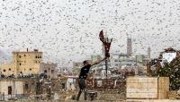 شاهد بالفيديو .. الجراد يجتاح العاصمة صنعاء