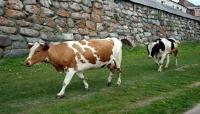 هل حان دور الأبقار لارتداء الكمامات بهدف مكافحة الاحتباس الحراري؟