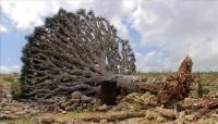 الرويشان: جزيرة سقطرى تموت قهرًا